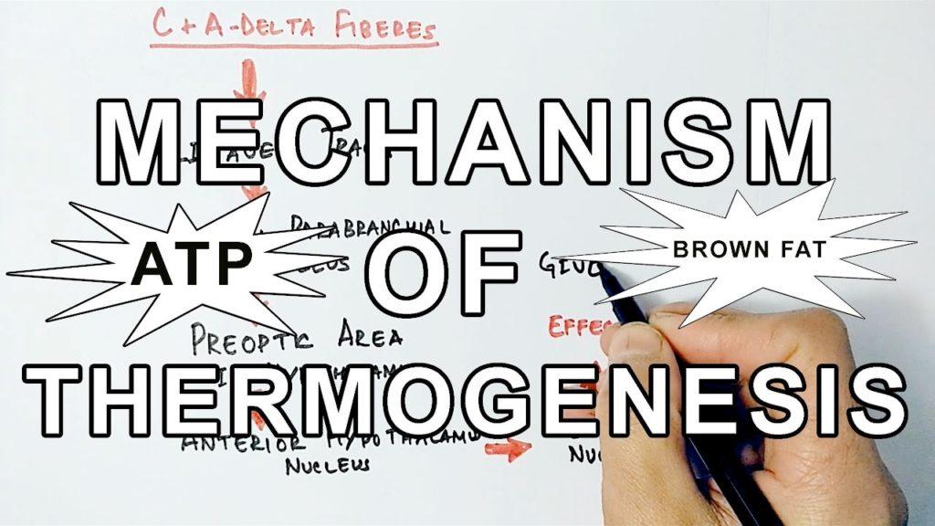thermogenesis-mechanism