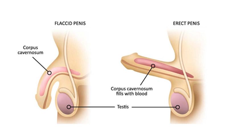 penis-function
