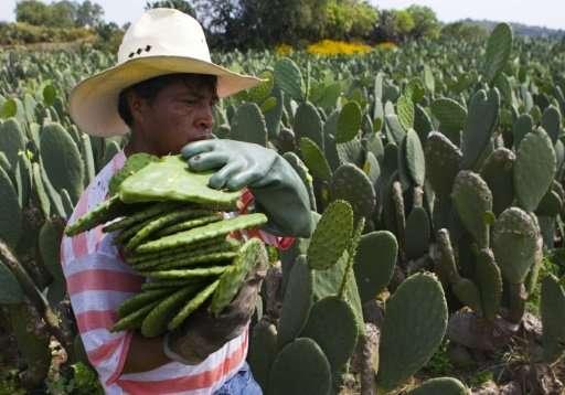 nopal-cactus-field