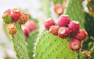 nopal-cactus-review-intarchmed.com