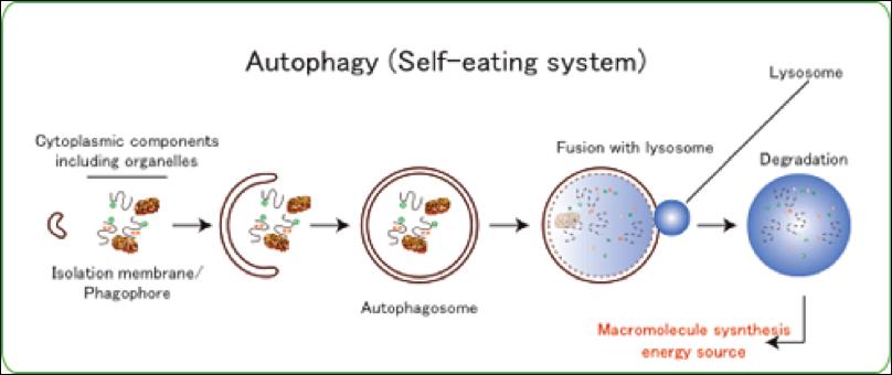 autophagy-cycle