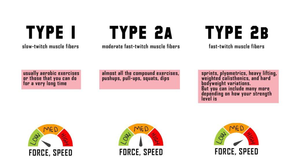 muscle-fiber-types
