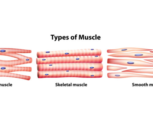 Muscle Fiber Types | Their Role in Training
