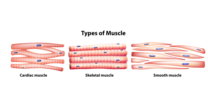 types-of-muscle-fiber